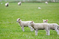 Young sheep in field