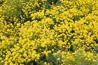 Close_up of yellow flowers, elevated view