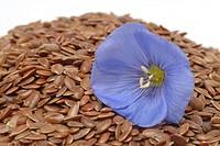 medicinal plant Flax, Linum usitatissimum, Common Flax, linseed