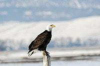 Bald Eagle. Klamath Falls, Oregon
