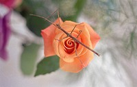 Stickbug on rose