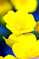 Marsh Marigold, Caltha palustris