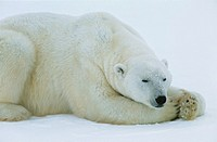 Polar Bear lying in snow Yukon