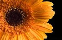 Close_up of an orange daisy