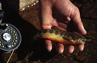 A man holding a golden trout while fishing in Yosemite CA