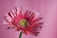 Close_up of a pink daisy