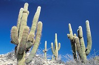 Cactus tree in the beautiful scenery in the Atacama desert near Cachi Argentina