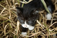 Kitten walking on dry grass, close_up