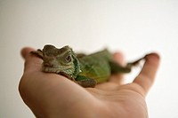 Chameleon on human hand, close_up