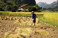 Farmer working in a rice paddy field, Xingping, Yangshuo, Guangxi Province, China