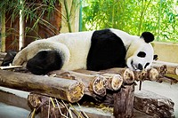 Panda sleeping on wooden logs, Xiangjiang Safari Park, Guangzhou, Guangdong Province, China