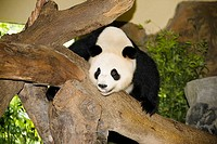 Panda on a wooden log, Xiangjiang Safari Park, Guangzhou, Guangdong Province, China