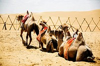Bactrian camels Camelus bactrianus in a desert, Kubuqi Desert, Inner Mongolia, China