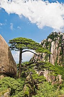 Tree on a mountain, Huangshan, Anhui province, China (thumbnail)