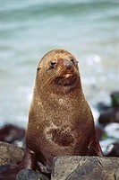 New Zealand _ South Island _ Otago Peninsula _ Seal fur