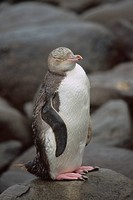New Zealand _ South Island _ Yellow eyed penguin