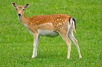 Fallow deer Cervus dama buck standing in field