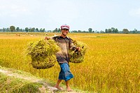 Vietnam _ The South _ The Delta of Mekong _ Chau Doc Surroundings _ Tinh Bien Region _ Rice field _ Rice culture