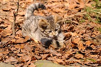 Close_up of young Wildcat Felis silvestris walking in forest