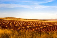 Crop in a field, Zacatecas State, Mexico