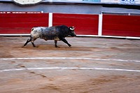Bull running in a bullring, Plaza De Toros San Marcos, Aguascalientes, Mexico