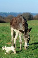 animal friendship: poitou donkey and lamb