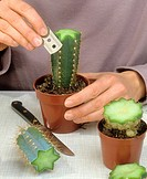 woman cutting cactus for grafting