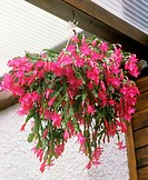 Thanksgiving Cactus in hanging basket (thumbnail)