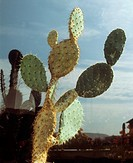 Prickly pear / Opuntia (thumbnail)