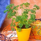 parsley / Petroselinum