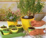rosemary _ cuttings