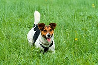 Jack Russell Terrier on meadow