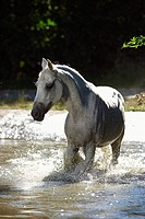 Lipizzan horse _ trotting in water