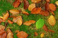 beech _ foliage