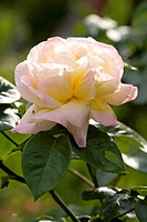rose _ blossom