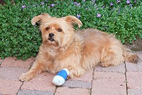 half breed dog with injured paw