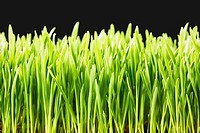 Wheatgrass close_up