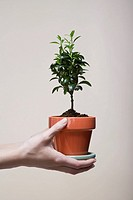 Woman´s hands holding potted plant close_up