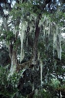 Trees with Spanish moss in Florida