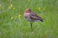 Black_tailed Godwit