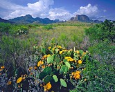 Clouds over Chisos Mountains Prickly Pear Cactus on a Spring Morning Big Bend National Park Rio Grande River Chihuahuan Desert Texas