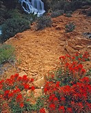 Indian Paintbrush and Falls Flat Pass near Moab Utah