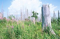 Germany, Bavarian forest, Lusen, meadow with dead tree stumps