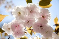 Germany, Bavaria, Ebenhausen, Cherry blossom, close_up