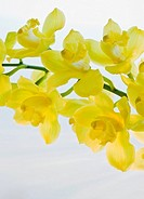Close up of freesia