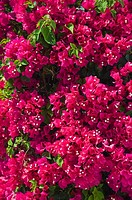 Close up of bougainvillea flowers