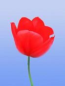 Tulpe 11