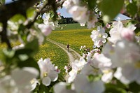 Germany, Bavaria, Oberland, Man mountainbiking across flowering meadow