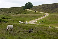Denmark, Jutland, Mountainbikers and flock of sheep