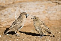 Africa, Namibia, Sociable Weavers Philetairus socius, close_up